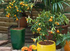 Décoratifs, odorants, colorés, les agrumes se font particulièrement remarquer en hiver! Ils se cultivent partout : en pleine terre, dans les régions les plu...