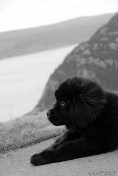 newfoundland puppy - super cute like a big fluffy bear aw :)