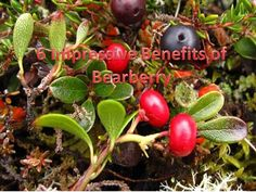 6 Impressive Benefits of Bearberry | SAMLEY.CO