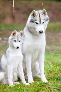 Pin by pjuergy on Canine Cute Baby Dogs, Cute Dogs And Puppies, Cute Baby Animals, I Love Dogs, Pet Dogs, Doggies, Siberian Husky Puppies, Husky Puppy, Wonder Pets