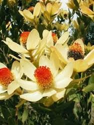 Interesting variety of leucadendron