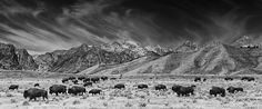 A timeless image that could have been taken 100 years ago featuring our new national Animal, the Bison. Image my Mark Kiver Photography. #Bison #Fineart #Photography #GrandTetonNationalPark animal,autumn,bison,sage brush,fall,grand teton national park,mountains,panorama,roam,travel,wildlife,Wyoming,roaming,feeding,landscape,scenic,grand tetons,herd,animals,scenic,buffalo,gros ventre,jackson hole,prairie,black and white,Prairie