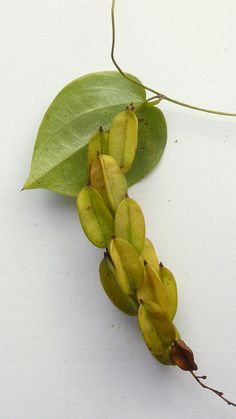 Dioscorea sincorensis R. Knuth
