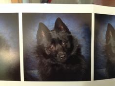 Our Schipperke Bavo of 2 1/2 years old