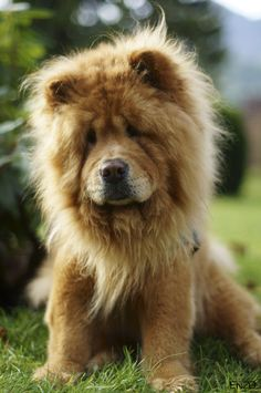chow chow I gave Toby a cut like this once I don't think anybody  really appreciated it.