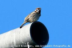 Tree Sparrow - Charakteristiky, pozorování a obrazy