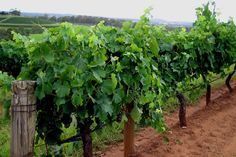 The Hunter Valley in New South Wales boasts some of the best vineyards (and wine!) in Australia.