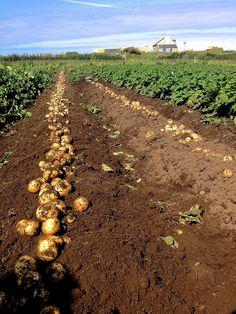 patates nouvelles