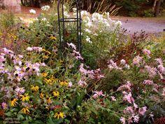 Front garden perennial blooms - mid October