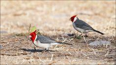 Fotografía Red Crested Cardinal por Martín Iriarte en 500px