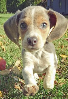 Bleu Steel, better known as Bleu, is a rare blue Beagle. He is full of energy, loves to fetch, chew on sticks, eats and snuggles. Bleu sure does bring everyone joy, laughter, licks and poops!