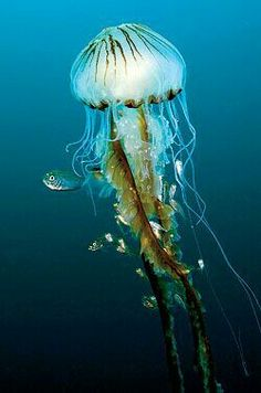 Underwater world Jellyfish♥ Underwater Creatures, Underwater Life, Ocean Creatures, Medusa, Beautiful Creatures, Animals Beautiful, Vida Animal, Life Under The Sea, Wale