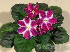 African Violet 034 RM Volshebnoe Rozhdestvo 034 Magic Christmas Young Plant | eBay