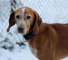 NO LONGER AVAILABLE. Ralph:8 yr. Family Pet, gentle, cuddler, quiet, mellow, stuffed toys, car, pets, Ontario is an adoptable Redbone Coonhound Dog in Kingston, ON. Hounds are known for their happy, friendly temperaments ...