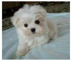 I'm getting a teacup Maltese, is it true that teacups are unhealthy?