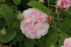 Belle Isis, 1845 (Gallica Rose)
