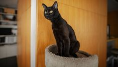 """Just like black dogs, black cats can also have a hard time getting adopted. Many shelters refer to this as """"black cat syndrome."""" Cute Dogs And Puppies, Pet Dogs, Black Photography, Cute Cat Gif, All About Cats, Black Wallpaper, Black Cats, Cat Lovers, Adoption"""