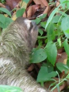Sloth/Panama