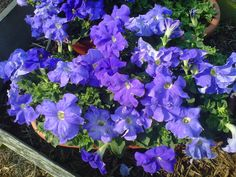 Blue, blue petunias