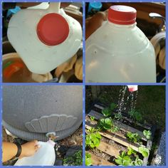 Couldn't bring myself to pay for a watering can so I made one, lol! All it took was a used gallon milk jug and a screwdriver. Poke holes with screwdriver around the top of the milk jug and tah-dah...instant watering can that works great!