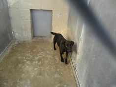 Petango.com – Meet sable, a 1 year Retriever, Labrador / Mix available for adoption in OPELOUSAS, LA