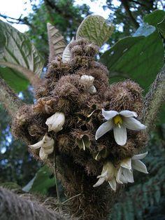 De visual peculiar, a Solanum cernuum ou Panaceia como é popularmente conhecida, é um arbusto ereto originário do Sul e Sudeste do Brasil, que apresenta caule pouco ramificado de até 3 m de altura.
