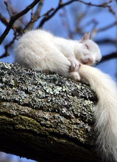 White Squirrel sleeping <3