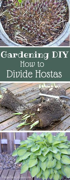 Container Gardening Design Ideas: Gardening DIY, How to Divide Hostas