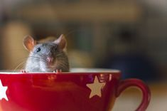 This post exposes numerous fascinating pictures of amusing and charming rats. Usually, rats are referred Stuart Little, Tiny Teddies, House Mouse, Pet Rats, Snuggles, Cute Animals, Creatures, Mice, Cutest Pets