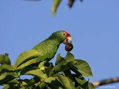Green-cheeked Amazon