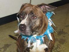 Bella - URGENT - Richland County Dog Warden in Mansfield, Ohio - ADOPT OR FOSTER - Young Female Pit Bull Terrier - at the shelter since April 12, 2017
