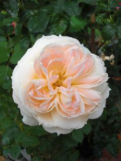 rosa mon jardin ma maison france - Mon Jardin Ma Maison
