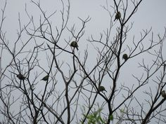 """This dead tree is a rest station for mainly Japanese white-eye or """"mejiro"""" and brown-eared bulbul. The birds in this image are all mejiros. 17 July 2016."""