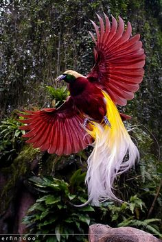Greater Bird of Paradise, found in the lowland and hill forests of southwest New Guinea and Aru Islands, Indonesia