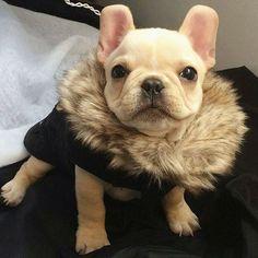 Leo, the French Bulldog @frenchieleo