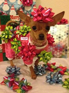 Merry Christmas Chihuahua ~ I know when I woke up I looked like this honest lol