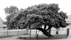 The 'Treaty Tree' in Woodstock - over 500 years old Old Photos, Vintage Photos, Visual Memory, Most Beautiful Cities, Present Day, Woodstock, Cape Town, South Africa, Past