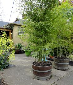 Use Bamboo in barrels for privacy, it grows quickly. Plant in a barrel to control it from becoming too invasive. Possibly golden bamboo or Phyllostachys aurea.