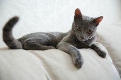 Русская голубая серый кот Хамон (6)