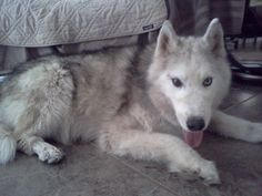 MEET OUR NEWEST #RESCUE: This is Mojo, a grey and white wooly bi-eyed boy. He is about 9 years old. Being an older #Siberian #Husky, Mojo is mellow and quite content spending time with his humans getting love and attention.  Mojo is happy and healthy, heartworm negative, neutered, up to date on shots, microchipped, and housebroken. He is just looking for a loving home to spend the rest of his Husky life. See him on #Facebook: https://www.facebook.com/HuskyMomAtSiberianHuskyRescueOfFlorida