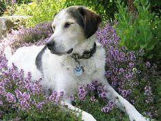 "Thyme is a lovely dog friendly alternative to lawn - My dear departed Shiloh dog in her favorite garden ""beddie"""