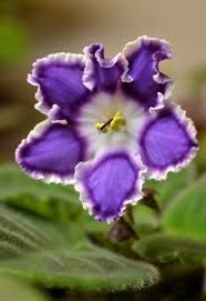 Image result for trailing african violets pictures flowers