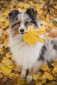 The Shetland Sheepdog originated in the and its ancestors were from Scotland, which worked as herding dogs. These early dogs were fairly Sheepdog Tattoo, Shetland Sheepdog Puppies, Dog Mixes, Herding Dogs, Dog Dna Test, Tier Fotos, Rough Collie, Australian Shepherd, Aussie Shepherd