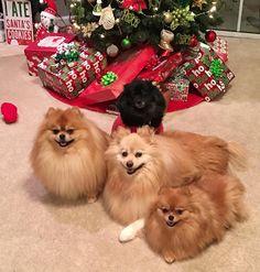 Good Night from all of us! #zeusmcgoose #zeus #baileyboo #blackpomeranian #maxandmia #mycutepoms #poshpamperedpets #readyforchristmas #goodnight #sleepy #pomeranian #pompompack #lacyandpaws #igpoms #igersjax #dogsofinstagram #dogcrushdaily #dogoftheday #partyof4 #pomeraniansofinstagram #pomeranianloverpost #jacksonville #readyforbed #sweetdreams by thepompompack