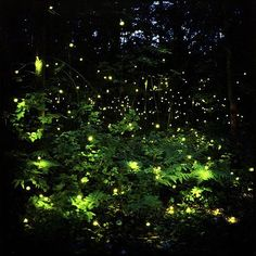 1, fireflies. 2,I was a kid watching the fairy tale, there are many such scenes.3,Fireflies dancing in the forest scene is very wonderful. 4,They floated out to sea like a swarm of fireflies against the dark water. P20