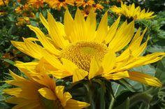 Sketch On Kyoto: Sunflower Kyōto Botanical Garden, Sakyō-ku, Kyōto Fujifilm Finepix X100 京都府立植物園(京都市左京区下鴨半木町)