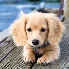 Daschund golden retriever mix - I'm in love so cute omg I want so bad!