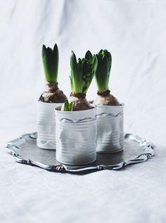 Hyacint jako součást vánoční dekorace a slavnostně prostřeného stolu
