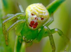 Clown spider - Theridion grallator
