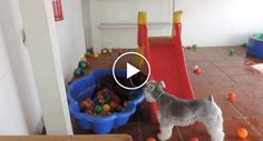 """A Hilariante Reação De Um Cão Ao Ver Uma """"Piscina"""" De Bolas Pela Primeira Vez http://www.funco.biz/reacao-hilariante-um-cao-ao-ver-piscina-bolas-pela-primeira-vez/"""